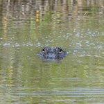 gator at canoe tour