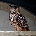 european eagle owl at shropshire falconry, a very stubborn bird