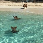 The Swimming Pigs of Abaco at No Name Cay