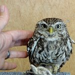 Gizmo a little owl