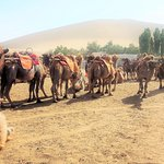 Camels for hire