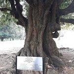 дерево, посаженное Николаем