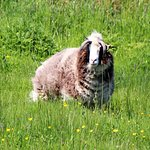 one of the sheep at Doolin Cave