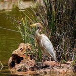 A Cattle Egret on a fishing trip