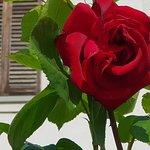 Magnifica rosa