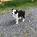 Irish Working Sheepdogs Picture