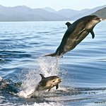 Leaping bottle nose Dolphins in the calm Sound