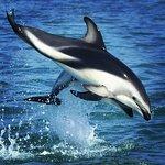 Dusky dolphins having fun