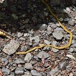 Shovel-Headed Ground Worm