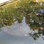 lago de peixes e carpas