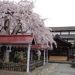 境内の枝垂れ桜が咲き誇っていました