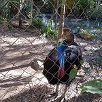 The Cassowary - One of my Favourites.