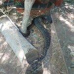 Eek! Very Large Snakes.