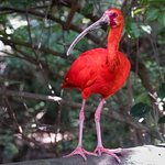 Scarlet Ibis with their enchanting colour