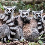 Snuggle up - Lemur ball