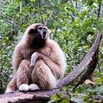 Gibbon singing her song Whooop whoop