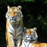 Armour Tiger