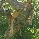 Ishasha Tree Climbing Lions, Queen Elizabeth NP