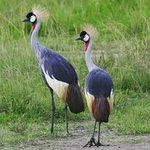 National bird of Uganda - Crested Crane