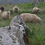 Sheep among the menhirs of Carnac.