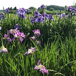 The Ushiku City Iris Garden照片
