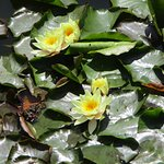 Water lily's in bloom
