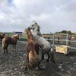 Islenski Hesturinn, The Icelandic Horse - Riding Tours resmi