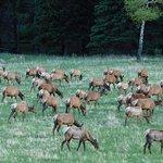 Herd of elk grazing in West Horseshoe Park meadow.