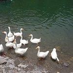 swans at sattal