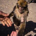 Monkeys near Ifrane