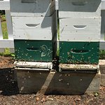 Two active beehives in a fenced off area are of interest to the amateur bee keeper.