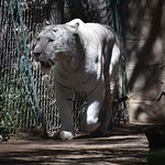 white tiger pacing