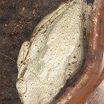 Albino Tree Frog