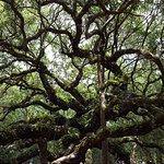 Angel Oak Tree照片