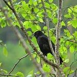 one of the many, many, many ravens