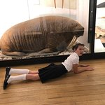 I never knew walruses were this big (person on the floor is 5')!
