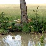 Lions near maasai mara river
