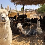 Foto de Alpaca Farm