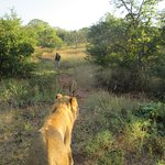 Milo and Mona walking us, Mukuni Big 5