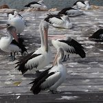 Pelican Feeding resmi