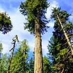 Tree in Mt. Rainier National Park
