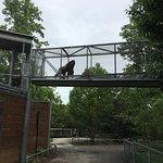 Gorilla in walkway