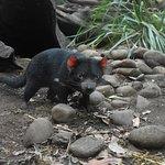 Curious Tasmanian Devil