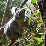 Koala enclosure
