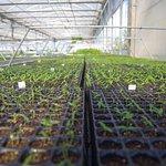 Piante di peperoncino sul banco di germinazione