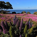 Lupines and ice plant blooming in early May at Lovers Point.