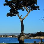 Tree at Lovers Point.