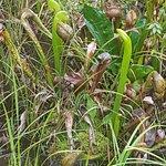 Darlingtonia State Natural Site照片