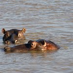 Hippos on the St. Lucia Estuary tour on the first evening