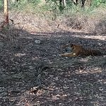Thrilling experience seeing Tiger without fence